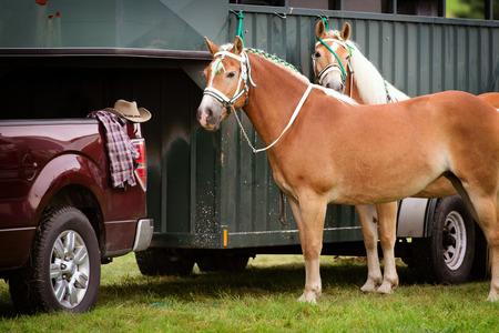 Two Palomino horses stand waiting beside a horse trailer hooked up to a pickup truck during a competition at a fair.