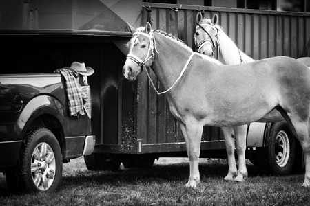 pickup truck: Two Palomino horses stand waiting beside a horse trailer hooked up to a pickup truck during a competition at a fair.