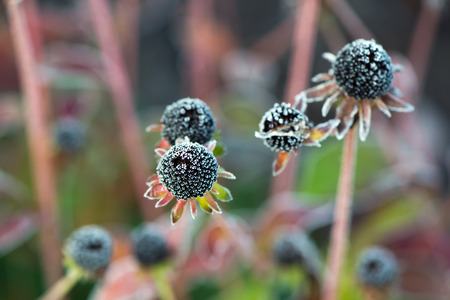carpels: A close up of a frozen wilted black eyed susan flower in the fall without any petals.