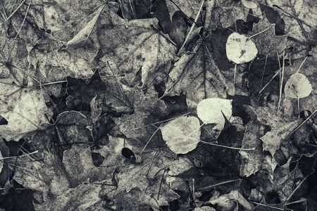 decomposing: A close up of decomposing fall leaves on the ground of a rural forest.  Processed in black and white.