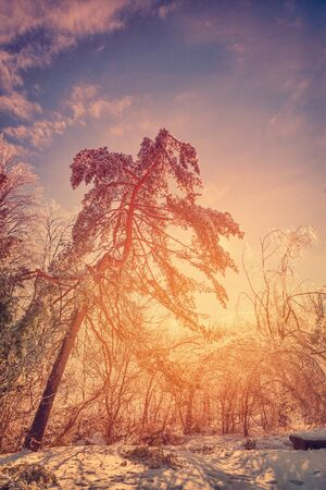 ice storm: The sun shines brightly orange illuminating the ice covered trees making them sparkle and glow after an ice storm during the winter season.