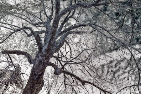 face in tree bark: A background color inverted image of a mans face in the bark of an ice covered tree after an ice storm during the winter season.  Processed for a retro, vintage look.