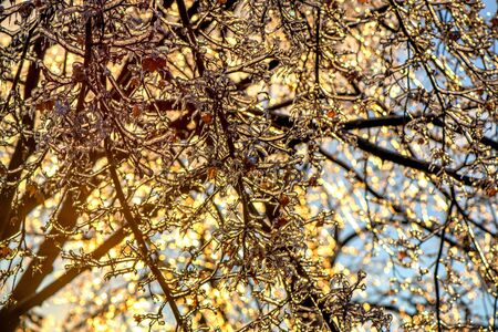 ice storm: A close up of thick layer of ice on maple tree branches and leaves during the winter season after an ice storm.