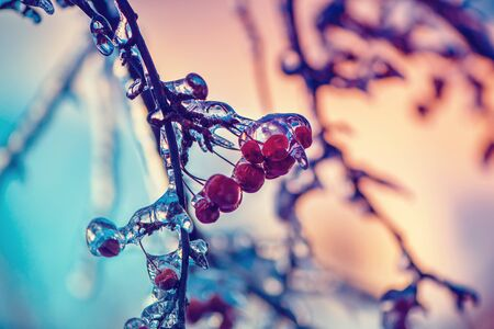 A close up of ice covered crab apples on a tree.  Reklamní fotografie