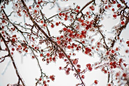 A close up of a thick layer of ice covered branches and crab apples on a tree photo