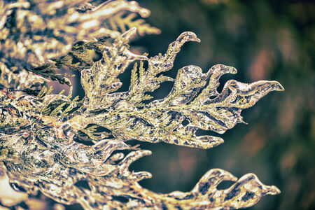 thuja occidentalis: A close up of a frozen eastern white cedar branches covered in ice after an ice storm.  Filtered for a retro, vintage look. Stock Photo