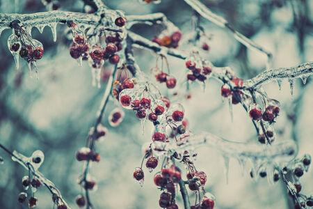 A は冬の間氷で覆われて木の枝に赤い果実のクローズ アップ。 レトロ、ビンテージ デザインのフィルター。 写真素材