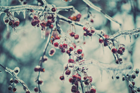 A close up of red berries on tree branches covered in ice during the winter season.  Filtered for a retro, vintage look. Imagens