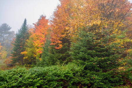 evergreens: An colorful autumn forest on a misty morning with maple and evergreens trees during the autumn season.