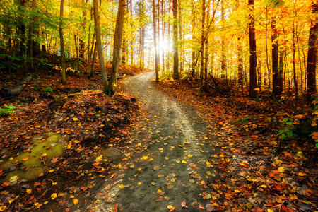 Sun shining through the trees on a path in a golden forest landscape setting during the autumn season.