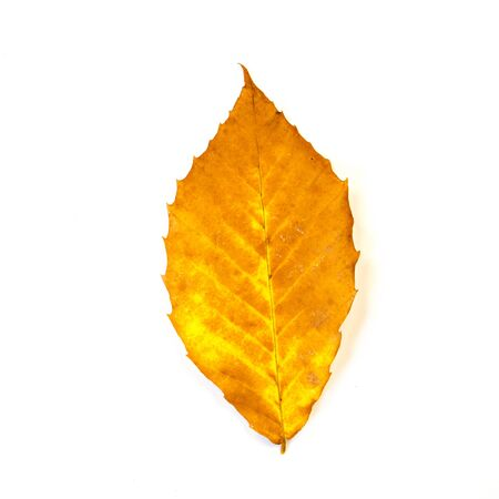A close up of a yellow and orange American beech autumn leaf isolated on a white background. photo