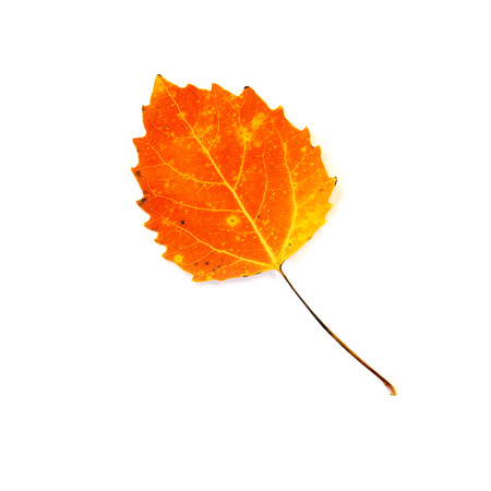 A close up of a fire orange  autumn leaf of a Bigtooth or Largetooth Aspen.  Isolated on a white background. Фото со стока