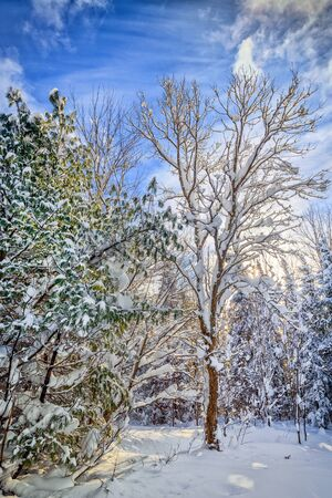 muskoka: A sunny bright day in a winter forest with snow covered trees and wispy clouds in the blue sky. Stock Photo