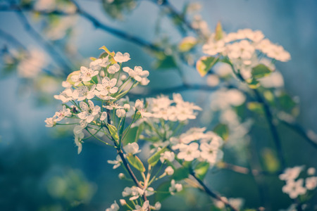 crab apple tree: A close up of crab apple tree flowers in bloom during the spring season on a sunny day.  Filtered for a retro, vintage look.