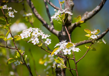 crab apple tree: A close up of crab apple tree flowers in bloom during the spring season on a sunny day.