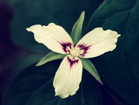 A close up view of a single Painted Trillium flower.  Filtered to give vintage, faded look.