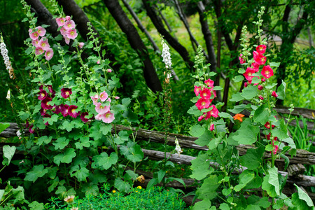 hollyhocks: A garden with vibrant colorful hollyhock flowers. Stock Photo