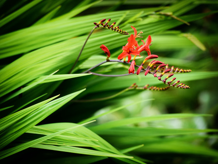 lucifer: A close up of some Crocosmia Lucifer flowers in bloom and as buds in a garden during the summer. Stock Photo