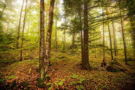 A morning mist in a forest at the end of the summer season and the beginnings of the fall season.