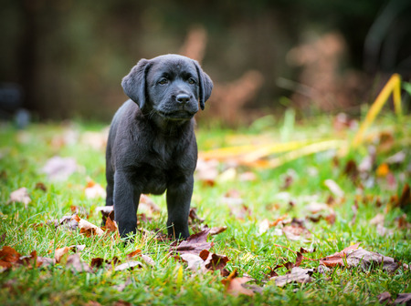 pure breed: A pure bred black Labrador retriever puppy playing outside in the yard during the fall season.