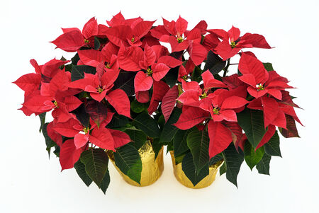 Two potted Poinsettia plants isolated on white used for Christmas displays and themes.