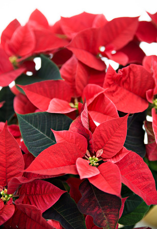 A close up of a poinsettia plant isolated on white used for Christmas displays and themes.