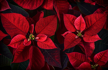 A close up detail of poinsettia plant leaves.  The plant is most commonly used for Christmas displays and themes.