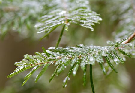 A close up of frozen spruce tree needles during the winter season. photo