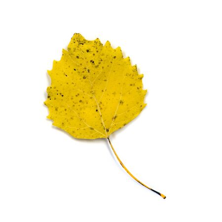 A close up of a yellow North American white poplar leaf also called quaking or trembling aspen.  Isolated on a white background.