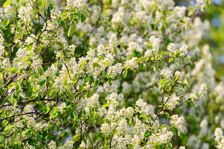 crab apple tree: Crab apple tree flowers in blossom. Stock Photo