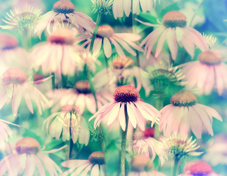 purpurea: A digital overlay of many faded and blurred coneflowers giving an effect similar to that of looking through a kaleidoscope.  One coneflower in the foreground is in focus.  Filtered for a retro, vintage look.