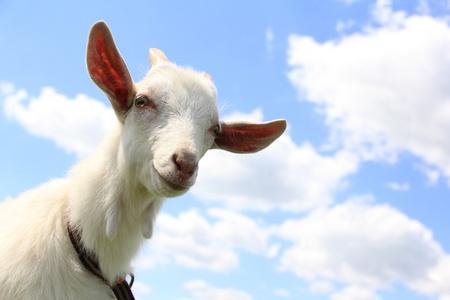 goats: Cute kid against the blue sky