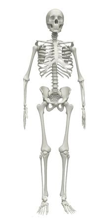 esqueleto humano: Esqueleto sobre un fondo blanco. 3d rindi� la ilustraci�n Foto de archivo