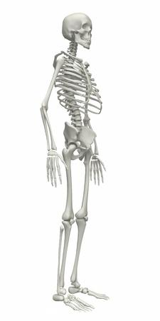 full body: Skeleton on a white background. 3d rendered illustration Stock Photo