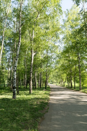 Footpath in a birch park photo