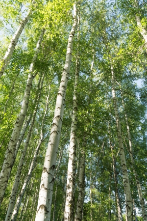 Birch wood in the spring photo
