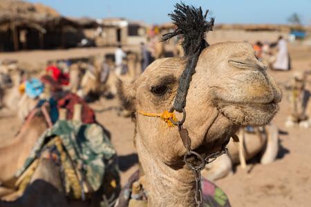 sinai desert: Cute Bedouin camel. Egypt. Sinai desert near Dahab