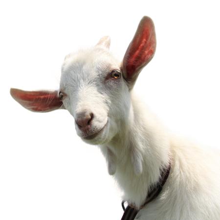macho cabrio: Ni�o lindo cabra aislado en un blanco Foto de archivo