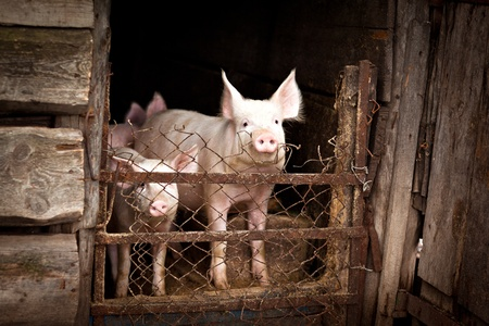 pigs Stock Photo - 10504028
