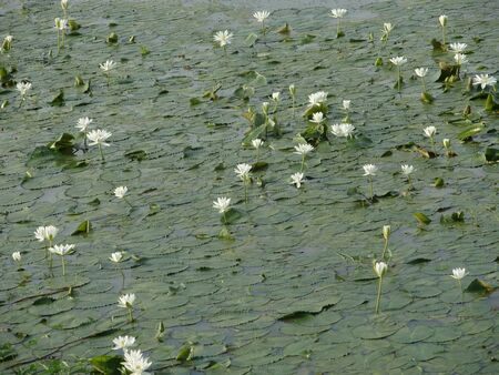 white: Pond covered with white lotuses and leaves Stock Photo