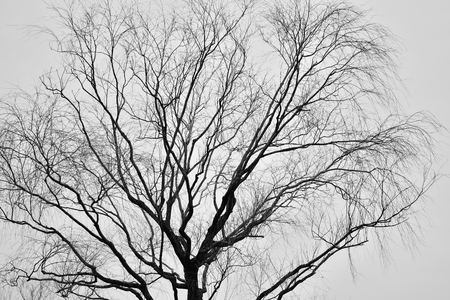 leafless: Leafless Tree silhouette isolated over white background Stock Photo