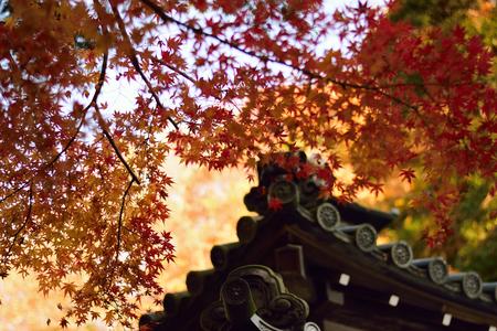 storied: Autumn Maple leaves  Japanese Shrine Stock Photo