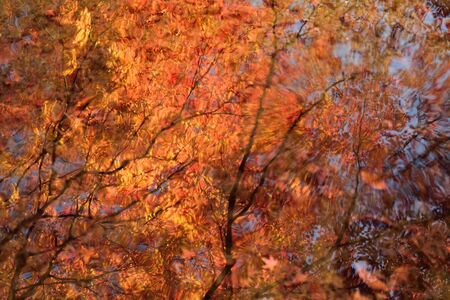 garden of eden: Shining Reflection of Maple in clear Pond water