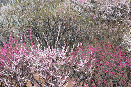 plum island: Background Japanese Plum Blossom Landscape