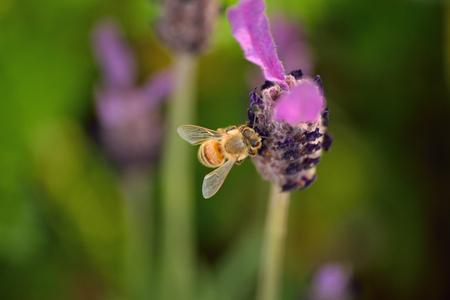 honeybee: Nature Background Honeybee collecting Pollen