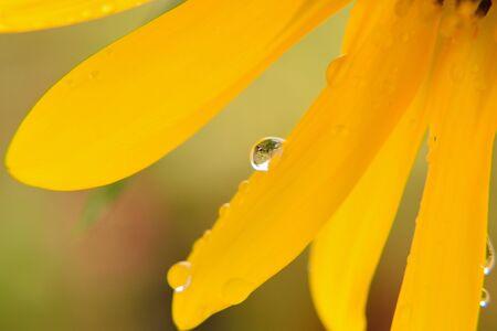 extreme close up: Macro raifall texture on sunflower surface Stock Photo