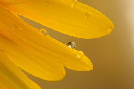 extreme close up: Macro rain dews on sunflower petals