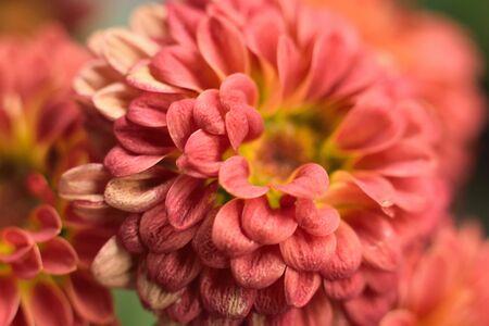 Macro Dalia flowers with blurred background Stock Photo