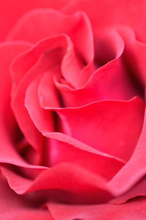 Macro details of vibrant red rose in vertical frame