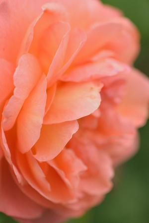 Macro texture of vibrant orange colored rose petals in vertical frame